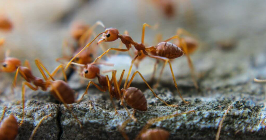 pest control against ants