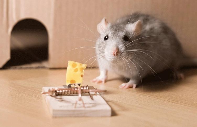 pest control against mice